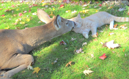 A housecat and a young buck strike up a close personal relationship.