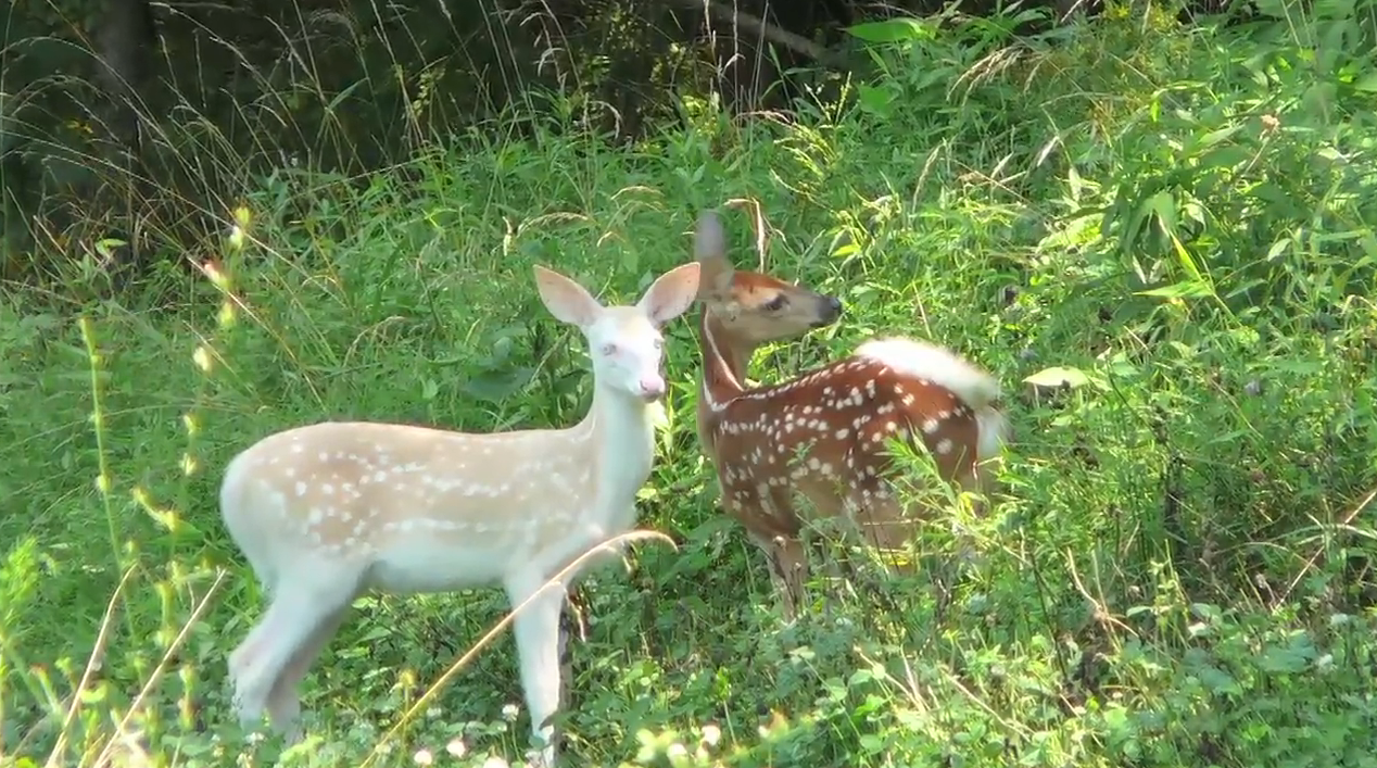 Muzzy Moment: Albino Fawn Hangs Around