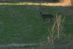 A Second Chance at a Nice Buck