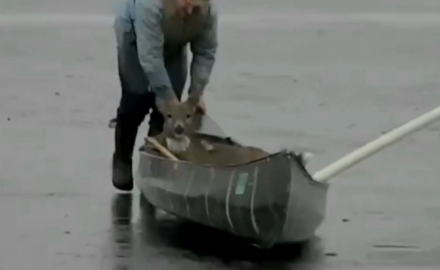 A Minnesota man sees a whitetail in distress on a frozen lake and rescues it with his canoe.