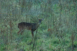 Bowhunting During the Illinois Rut