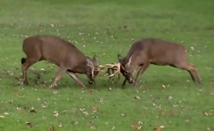 A New Yorker captures two bucks going at it in a no-holds-barred battle with one another.