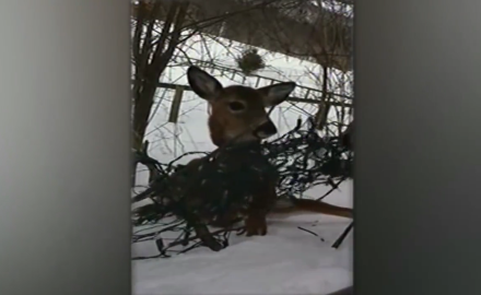 An off-duty police officer in New York frees a young whitetail who managed to get itself tangled up