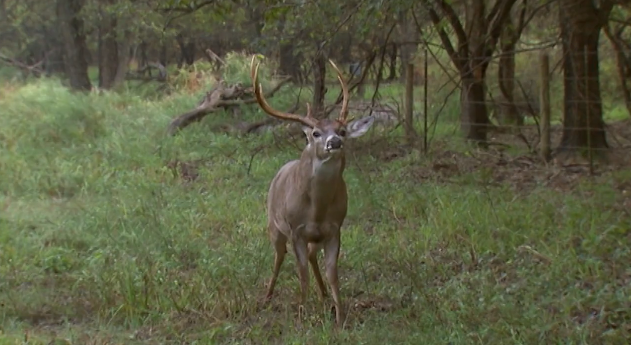Late Pre-Rut Rattling in Texas