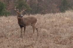 Rattling Bucks in Missouri