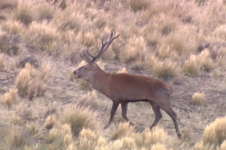 Argentina Red Stags