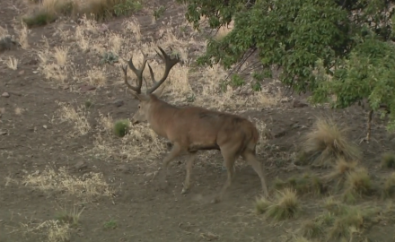 Dr. James Kroll discusses similarities and differences between hunting whitetails and red stags.