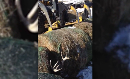A nine point buck is wedged between two bails of hay.