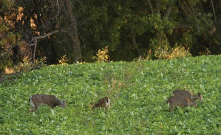 Understanding what deer eat and how they adjust their diets to meet changing nutritional requirements will not only increase your chances of harvesting a good buck, but also your enjoyment of whitetail hunting.