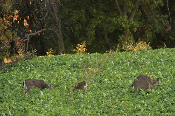 What Do Deer Eat?