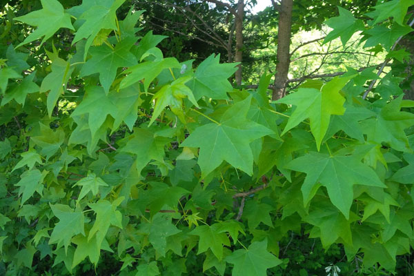 Sweetgum isn't an ideal food source for deer, but they'll still eat it as a 3rd choice browse plant.