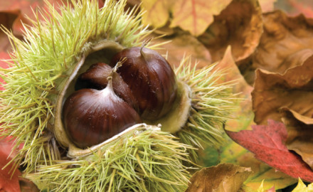 Chestnuts are becoming popular with deer managers, thanks to the availability of blight-resistant