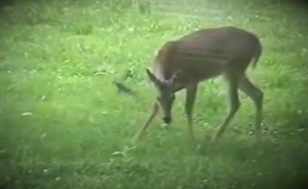 A carnivorous whitetail? As in, a whitetail that eats meat?  That's right. In this crazy clip from