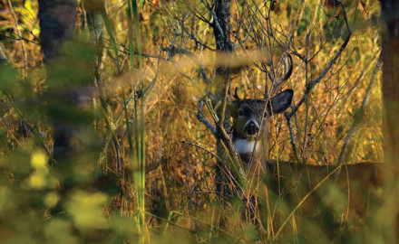 Deciduous trees are a staple across much of the whitetail's range. The deer live among them, and we