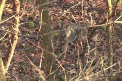 impact of predators on deer