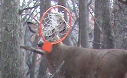 A Pennsylvania man spots a buck tangled up with a basketball hoop and captures it on video.