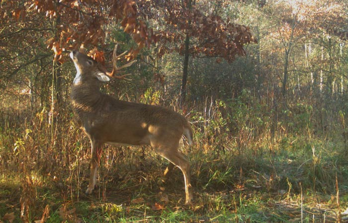 buck and doe meaning