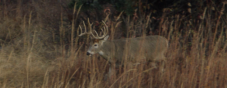 Mature deer habits
