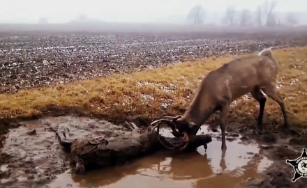 North American Whitetail shares videos of bucks that have locked horns with one another.