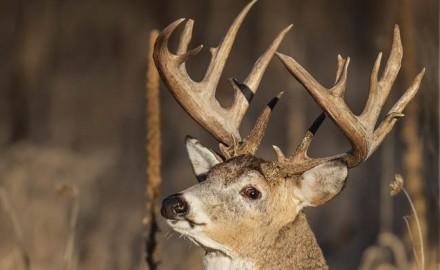 a-deer's-sense-of-hearing