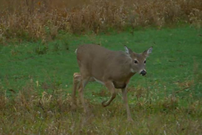 doe in crop field