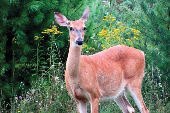 whitetail-sense-of-hearing