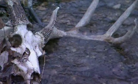 Chronic wasting disease was first discovered in 1967 in captive mule deer in Colorado. It has since