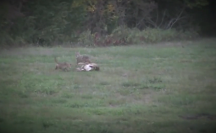 A Kansas bowhunter and his daughter take a doe, but a pair of coyotes wish to lay claim to their
