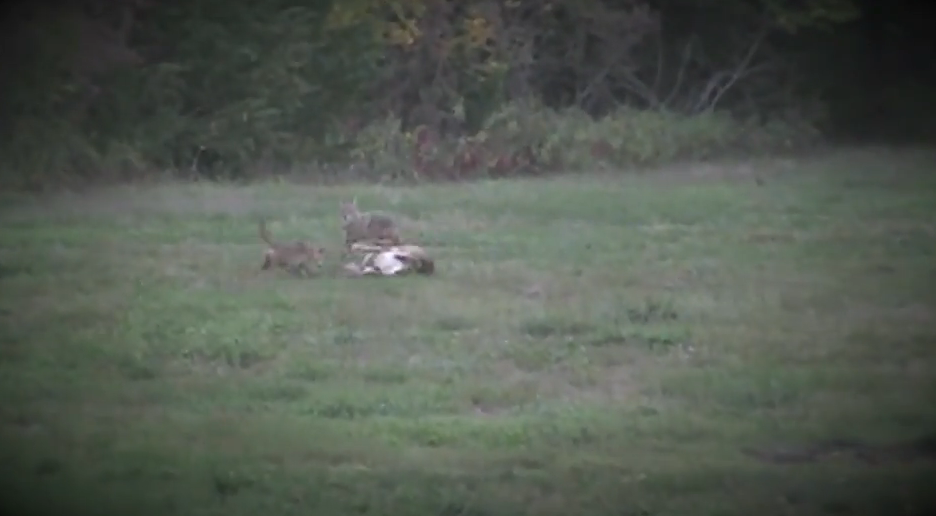 Weird Whitetails: Coyotes Attack Doe