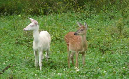 North American Whitetail takes a look at all the albino whitetails captured by cameras.