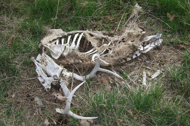 Whitetail-Lifespan