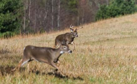Deer-Rut