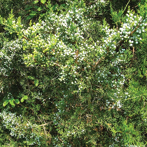Foreign-Plants-NAWP-180100-P928