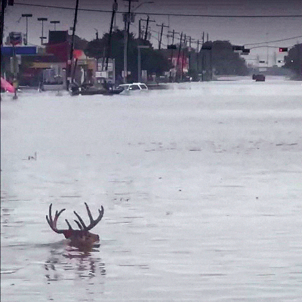 Texas Whitetails Riding Out Hurricane Harvey