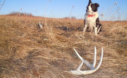 How-to-Find-More-Shed-Antlers