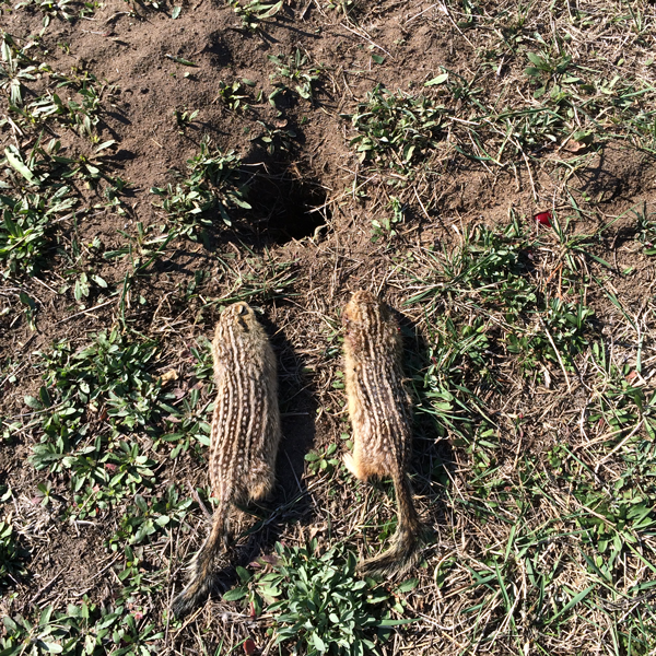 Food-Plot-Pests-Ground-Squirrels