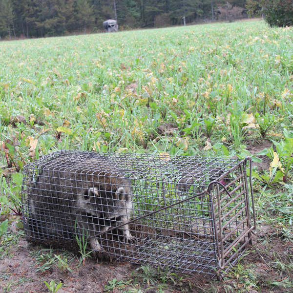 Food-Plot-Pests-Racoons