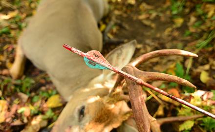 Early season buck and arrow