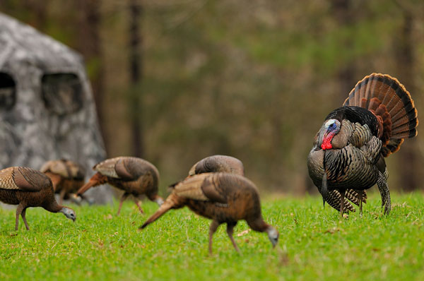 //www.petersenshunting.com/files/10-turkey-hunting-tips-for-the-desperate-beak-buster/turkey-hunting_009.jpg