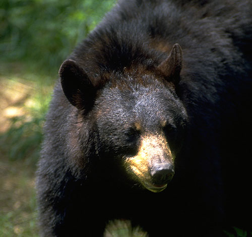 "Minnesota DNR: ""Bear"" with us while we redo our bear lottery results"