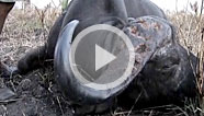 Hunting buffalo in Africa can be a perilous adventure...especially when you've got one on the
