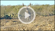 Craig Boddington heads south where he tries his hand at rattling in Texas whitetail bucks on a