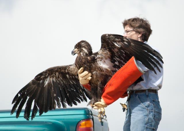 eagle release 2