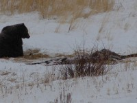 a grizzly bear in Yellowstone National Park from our 2009 visit.