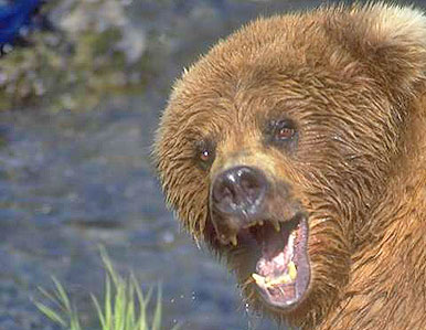 Grizzly Bear with Cubs Mauls/Kills Yellowstone Hiker