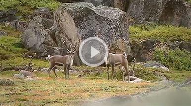 VIDEO: Greenland Reindeer Hunting