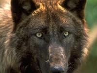 PHwolf_070611hL