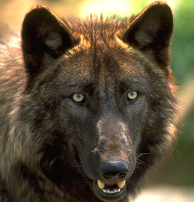 Idaho to offer looser wolf hunt rules than Montana