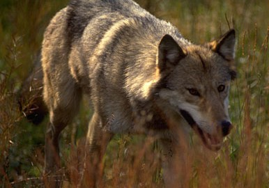 PHwolf_070811A