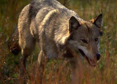 Idaho Fish & Game Release Wolf Hunting Proposals